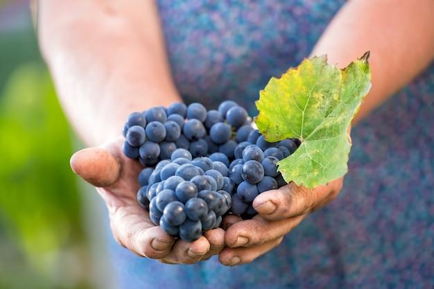 Gros plan des mains d'un vigneron ou d'un producteur de raisin inspectant la vendange