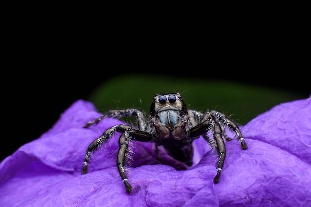 Gros plan mâle hyllus ou araignée sauteuse sur une fleur pourpre