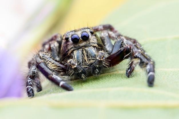Gros plan mâle hyllus diardi ou araignée sauteuse sur feuille verte