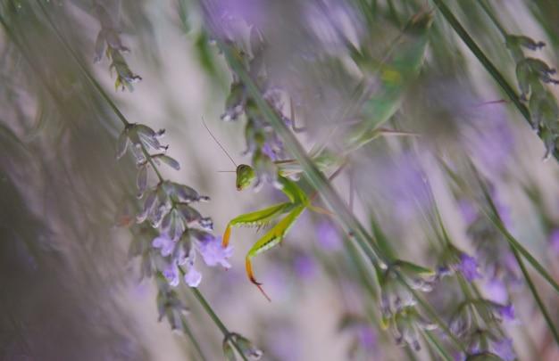 Gros plan d'une mante religieuse sur une fleur en france