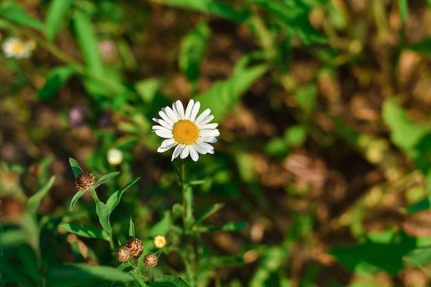Gros plan de marguerite sauvage blanche, fleur sauvage