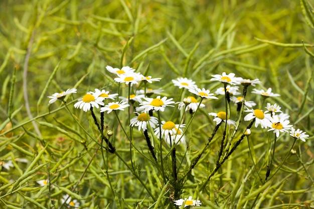 Gros plan sur les marguerites en fleurs