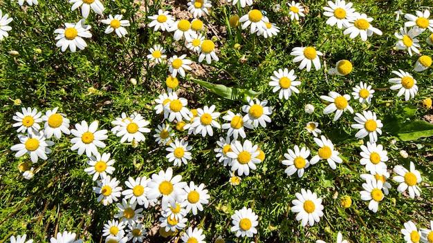 Gros plan de marguerites sur le terrain un jour de printemps