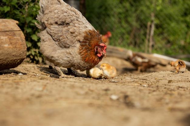 Gros plan d'une mère poulet avec ses poussins à la ferme.