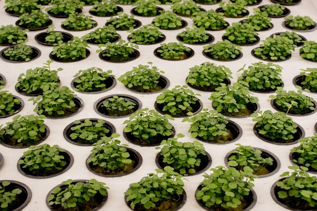 Gros plan sur les micropousses de basilic. la culture du basilic dans les germes du système hydroponique vue rapprochée.