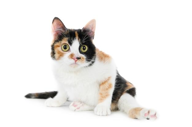 Gros plan d'un mignon chat blanc et brun isolé