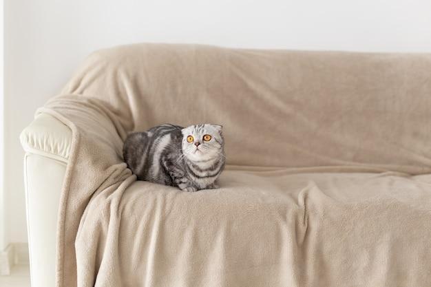 Gros plan d'un mignon chat écossais gris aux yeux bruns assis sur le canapé et explorant un nouvel appartement. concept de pendaison de crémaillère pour les animaux.