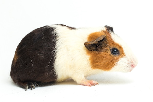 Gros plan, de, mignon, cochon d'inde