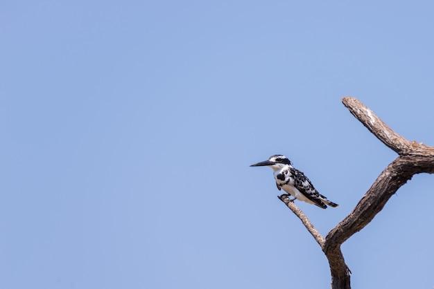 Gros plan d'un mignon martin-pêcheur noir et blanc perché sur une branche d'acacia. téléphoto vue de dessous contre le ciel bleu clair.