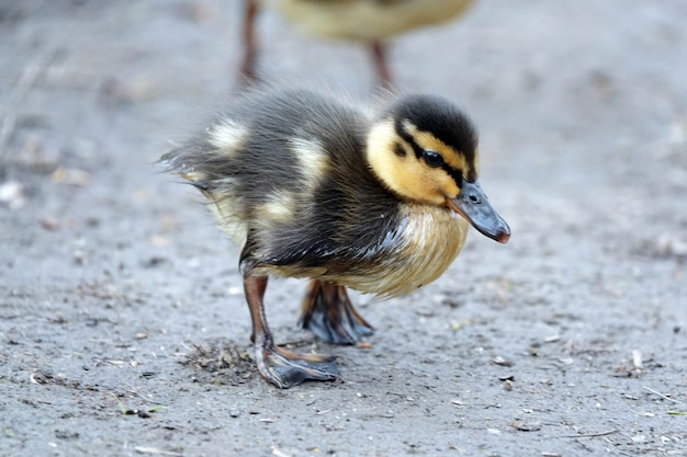 Gros plan d'un mignon petit canard courir sur le sol à l'extérieur