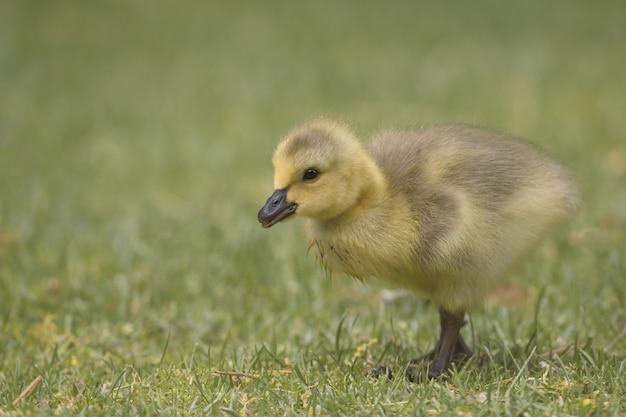 Gros plan d'un mignon petit canard jaune marchant dans le champ herbeux