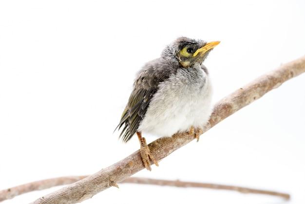 Gros plan d'un mineur bruyant bébé sur fond blanc. un oiseau indigène australien.