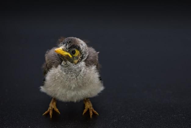 Gros plan d'un mineur bruyant bébé sur fond noir. un oiseau indigène australien.