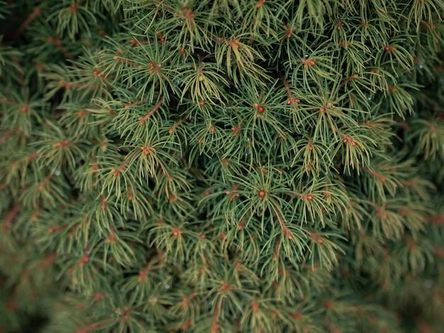 Gros plan sur la mise au point sélective de branches de pin vert