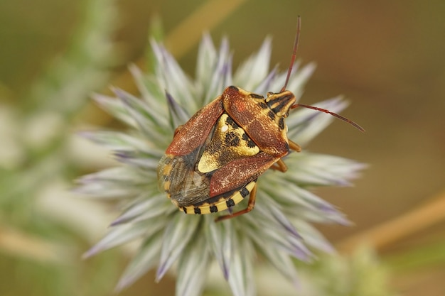 Gros plan de la mise au point sélective d'un bug de bouclier adulte au sommet d'une fleur de chardon