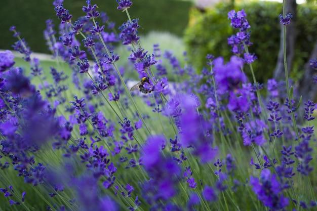 Gros plan sur la mise au point sélective de lavandula pinnata plantes à fleurs