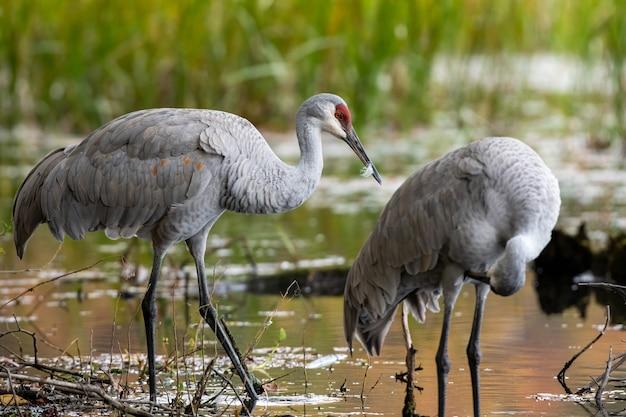 Gros plan de la mise au point sélective des oiseaux grues sur un étang