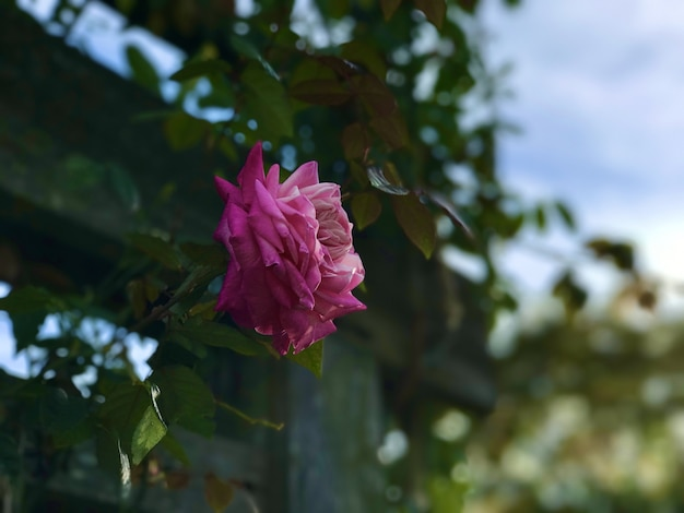 Gros plan mise au point sélective d'une rose rose en fleurs
