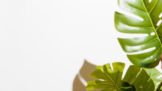 Gros plan de monstera vert feuilles sur fond blanc