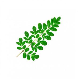 Gros plan, de, moringa, feuilles