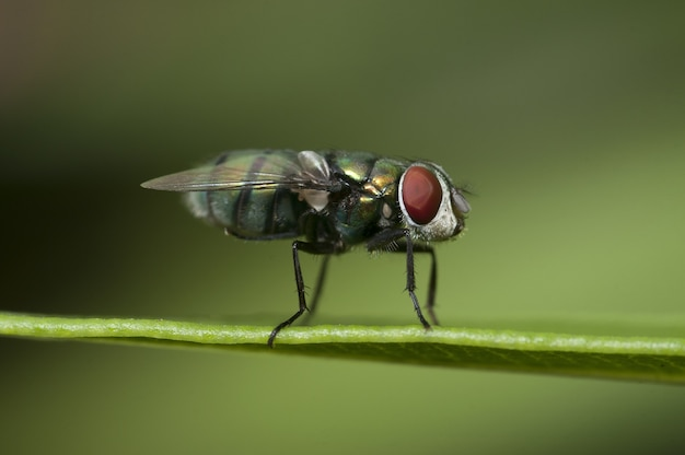 Gros plan d'une mouche assise sur une feuille avec un arrière-plan flou vert