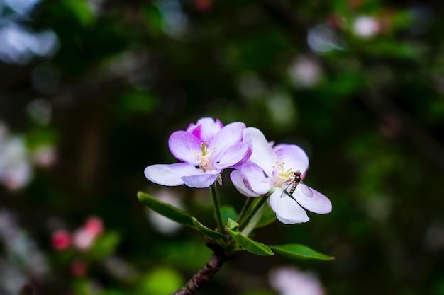 Gros plan d'une mouche sur une fleur de mélastome avec un arrière-plan naturel flou