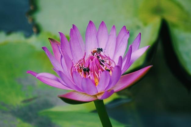Gros plan de mouches sur une belle fleur de nénuphar rose