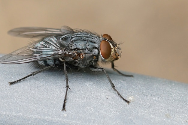 Gros plan sur l'une des mouches bleues les plus courantes