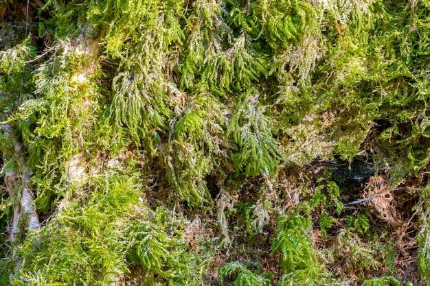 Gros plan de mousse de forêt verte, texture, arrière-plan.
