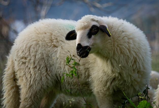 Gros plan d'un mouton blanc dans une terre agricole mange de l'herbe
