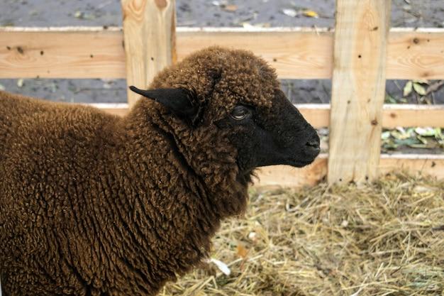 Gros plan d'un mouton brun foncé de la race romanov. moutons dans un enclos avec du foin. élevage de moutons