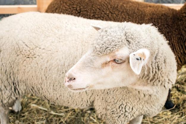 Gros plan d'un mouton gris blanc de la race romanov. moutons dans un enclos avec du foin. élevage de moutons