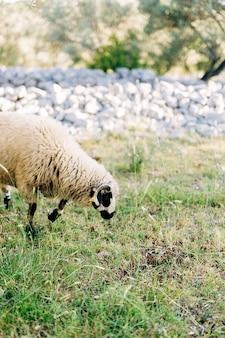 Un gros plan de moutons avec de la laine paissant dans l'herbe