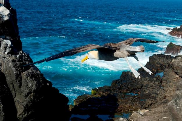 Gros plan, nazca, fous, (sula granti), survoler la côte, punta suarez, île d'espanola, îles galapagos, équateur