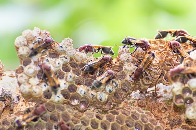 Gros plan sur un nid de guêpes et de guêpes avec des œufs et des larves dans la nature