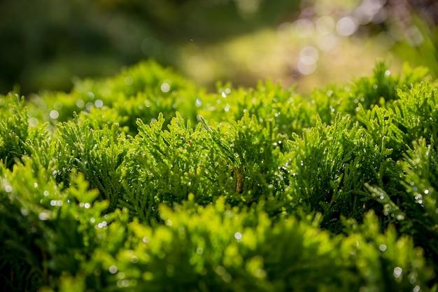 Gros plan de noël vert des arbres de thuya. fond de nature ou texture de papier peint. macro de texture columna verte thuja occidentalis. arbre conifère à feuilles persistantes, thuya chinois