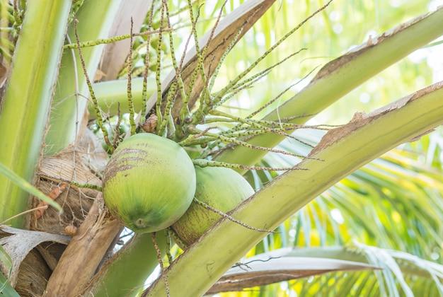 Gros plan de noix de coco sur le cocotier dans le verger