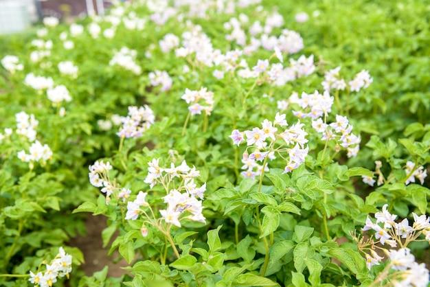 Gros plan de nombreuses plantes de pommes de terre en fleurs jaunes et blanches dans un grand champ par une journée ensoleillée en début d'été