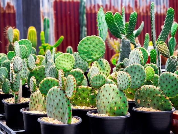 Gros plan sur de nombreux cactus plats verts en croissance dans des pots en plastique noir qui se sont reproduits dans la ferme de cactus.