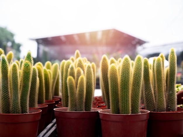 Gros plan sur de nombreux cactus verts en croissance dans des pots en plastique marron qui se sont reproduits dans la ferme de cactus.