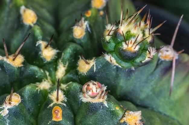 Gros plan d'un nouveau semis de cactus épineux