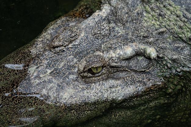 Gros plan, oeil crocodile