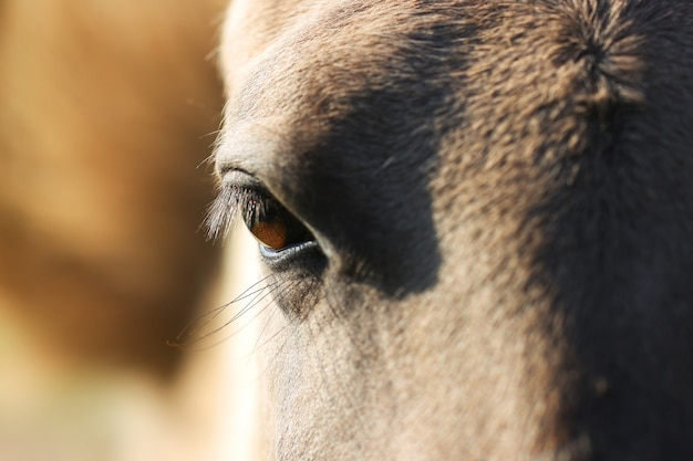 Gros plan sur l'oeil du cheval gris