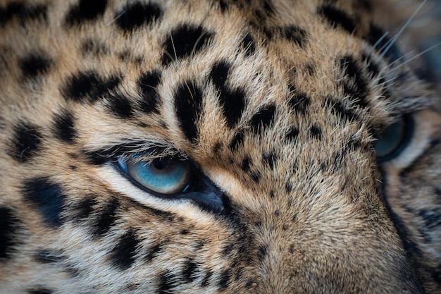 Gros plan d'un œil de tigre de sumatra mâle
