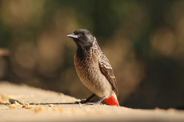 Gros plan d'un oiseau bulbul à évent rouge