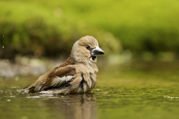 Gros plan d'un oiseau hawfinch baignade
