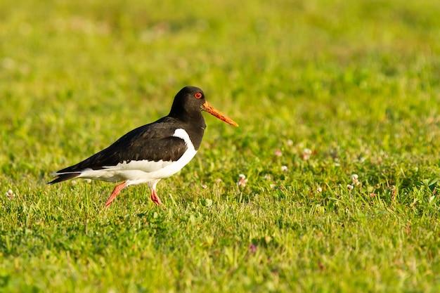Gros plan d'un oiseau huîtrier d'eurasie debout sur l'herbe. oiseau noir et blanc