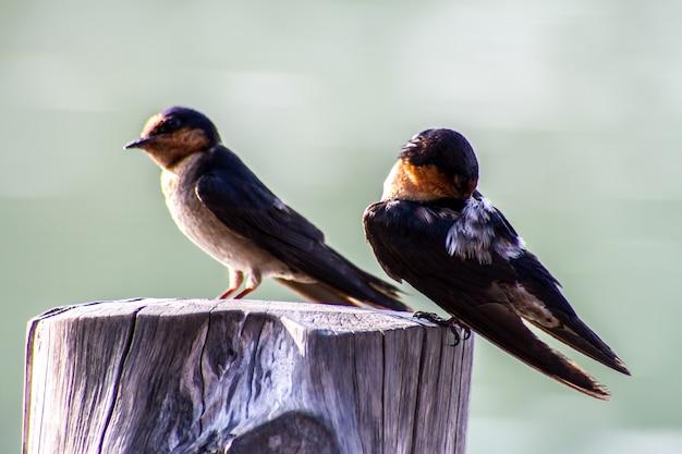 Gros plan, oiseau, pacifique, hirondelle, (hirundo, tahitica)