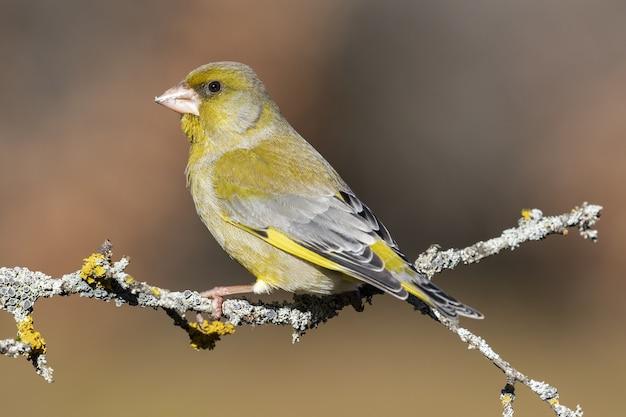 Gros plan d'un oiseau royal jaune perché sur une branche d'arbre