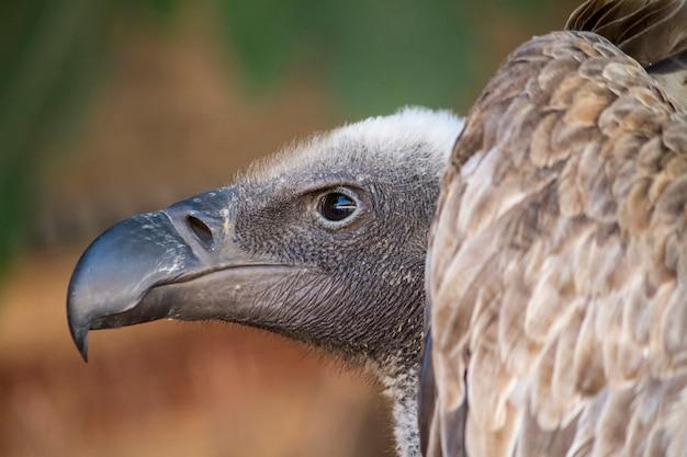 Gros plan sur un oiseau vautour fauve (gyps fulvus).